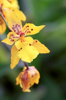 Free Orchid Close Up Royalty Free Stock Photography - 4787087
