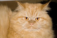 Free Fluffy Red Cat Royalty Free Stock Images - 4787409