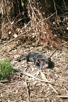 Tasmanian Devil, Tasmania, Australia Stock Photo