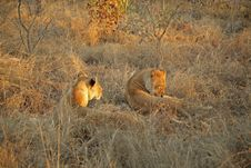 Free Lions On Safari, Sabie Sands Stock Photography - 4788262