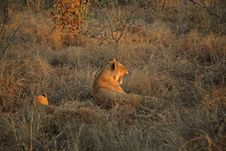 Free Lions On Safari, Sabie Sands Stock Photo - 4788360