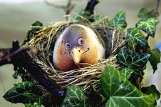 Free Bird In The Nest Stock Photos - 4788483