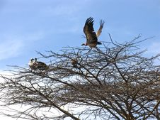 Vulture Nests Stock Image
