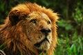 Free Lion King Royalty Free Stock Photo - 4790165
