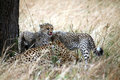 Free Cheetah Cubs With A Kill Royalty Free Stock Images - 4792839