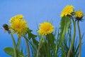 Free Dandelions Stock Images - 4798764