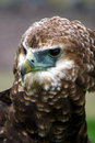 Free Majestic Eagle Royalty Free Stock Image - 4799186