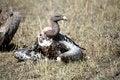 Free Vulture Stock Photo - 4799340
