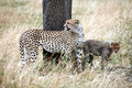 Free Watchful Cheetah With Cubs Stock Image - 4799881