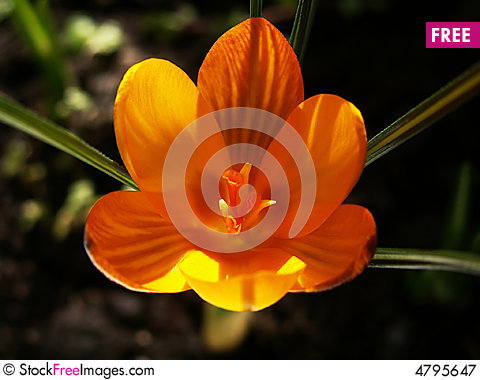 Free Yellow Crocus Head Royalty Free Stock Photography - 4795647