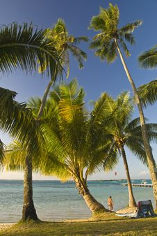 Free Coconut Trees On Moorea In South Seas Stock Photo - 4790120