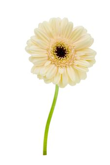 Free Beautiful Creme Colored Gerbera Royalty Free Stock Photography - 4790197