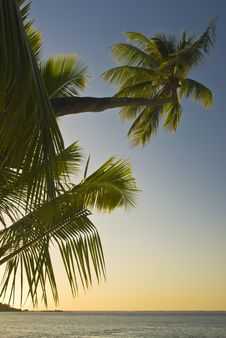 Free Coconut Trees On Moorea In South Seas Royalty Free Stock Images - 4790209