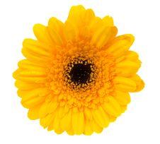 Free Beautiful Yellow Gerbera Royalty Free Stock Images - 4790399