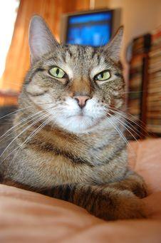 Free Grey Cat Stock Image - 4790521