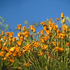 Free California Poppies Stock Images - 4790654