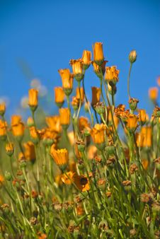 Free California Poppies Stock Image - 4790691