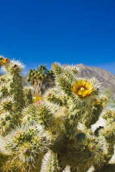 Free Wild Flowers. Anza-Borrego Desert State Park. Royalty Free Stock Photo - 4790745