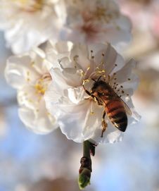 Free Bee And Blossom Stock Photo - 4791070