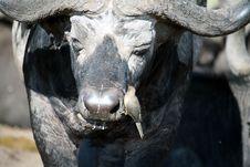 Free Buffalo And Oxpecker (Kenya) Royalty Free Stock Photography - 4791877