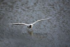 Free Landing Black-headed Gull Royalty Free Stock Image - 4792516