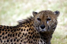 Free Scarred Cheetah Basking In The Sun Stock Photos - 4792733