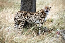 Free Cheetah Standing In The Grass Royalty Free Stock Photography - 4792917