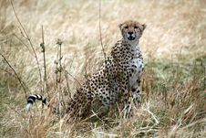 Free Cheetah Sitting In The Grass Royalty Free Stock Image - 4793276