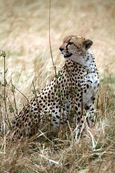 Free Cheetah Sitting In The Grass Royalty Free Stock Photo - 4793355