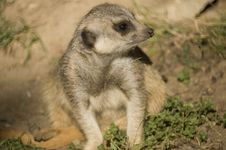Free Slender Tailed Meerkat Shallow DOF Royalty Free Stock Photos - 4794538