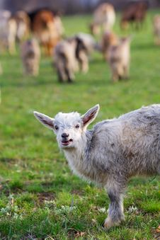 Free Little Goat On The Meadow Royalty Free Stock Image - 4794566