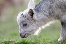 Free Little Goat On The Meadow Stock Photo - 4794590