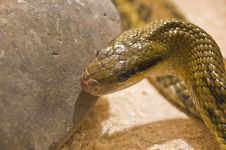 Free Snake Shot In Terrarium Royalty Free Stock Images - 4795509