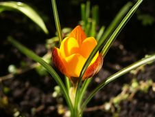Free Golden Crocus Flower Stock Image - 4795651