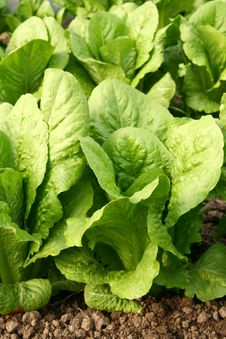 Free Lettuce Bed In Greenhouse Royalty Free Stock Photos - 4796468