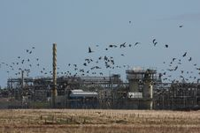 Free Geese At St Fergus Gas Terminal/Refinery Royalty Free Stock Images - 4797069