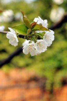 Free Cherry Stock Images - 4797324