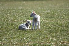 Spring Lambs Royalty Free Stock Photos