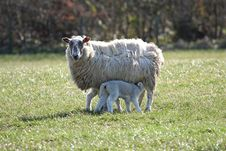 Free Sheep And Lamb Feeding Stock Photo - 4797630