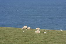 Free Sheep In A Filed Beside The Ocean Stock Image - 4797811