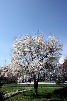 Free Tree Being In Blossom Stock Photos - 4797883