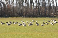 Free Geese Feeding Royalty Free Stock Image - 4798296