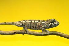 Free Chameleon Stock Image - 4798841