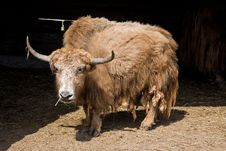 Free Buffalo Stock Photo - 4799180
