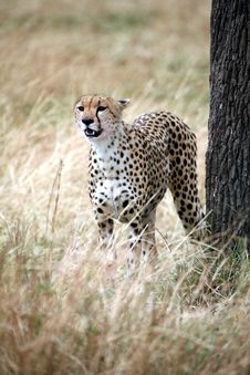 Free Cheetah Standing In The Grass Stock Photos - 4799763