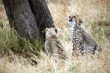 Free Cheetah Cubs Looking Up A Tree Royalty Free Stock Images - 4799999