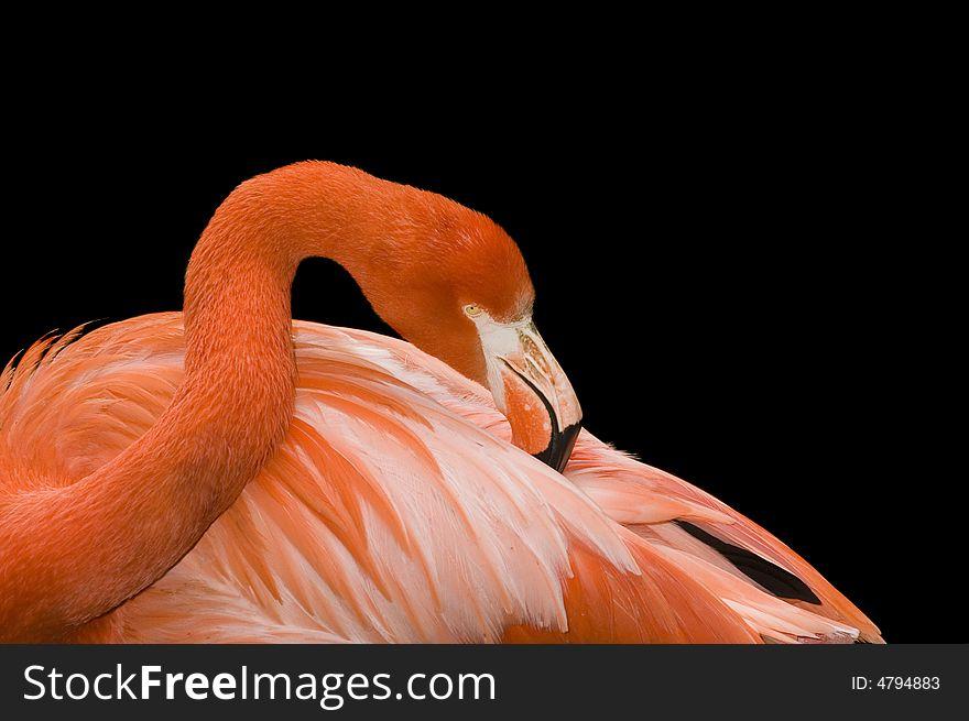 Closeup of a Flamingo
