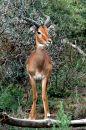 Free Impala Royalty Free Stock Photography - 483657