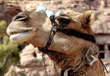 Free Camel Portrait Royalty Free Stock Photo - 480255