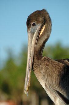 Free Pelican Pete Stock Image - 480371